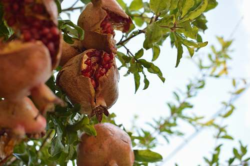 fruit brown fruit tree plant