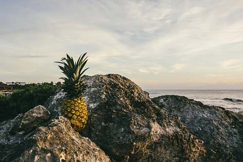 fruit brown pineapple fruit on rock during daytime pineapple