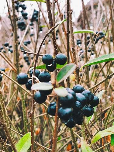 fruit bunch of blackberries blueberry