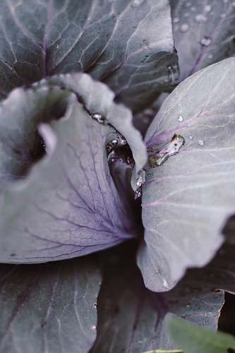plant close-up photography of plant cabbage