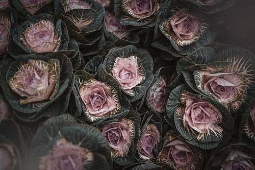 plant flower bouquet cabbage