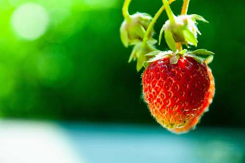 fruit focus photography of red strawberry plant
