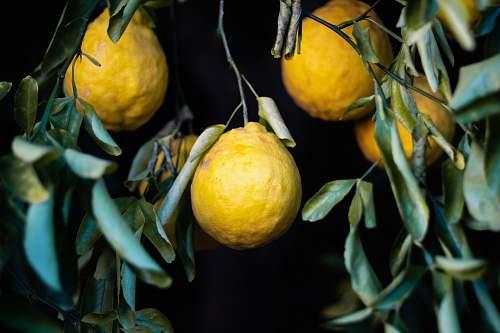 fruit four yellow lemons plant
