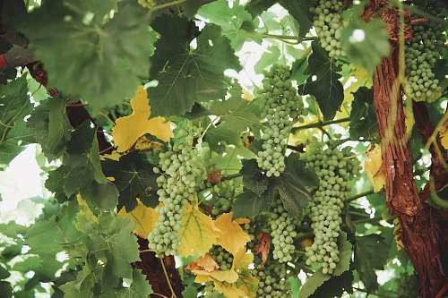 fruit grape fruit plant