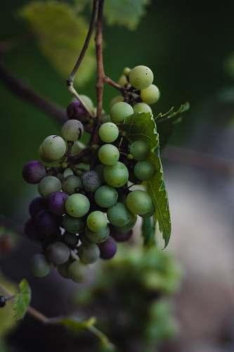 fruit green and purple grape fruit grapes