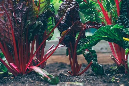 vegetable green and red plant garden
