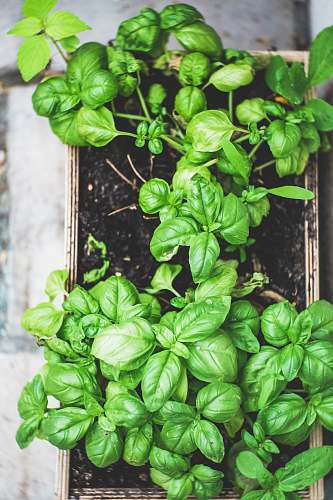vegetable green plant on brown pot spinach