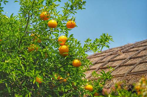 citrus fruit lemon plant with fruits fruit