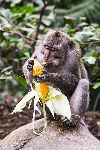 corn monkey holding corn vegetable
