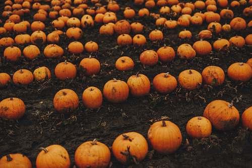 pumpkin orange and orange pumpkin lot plant