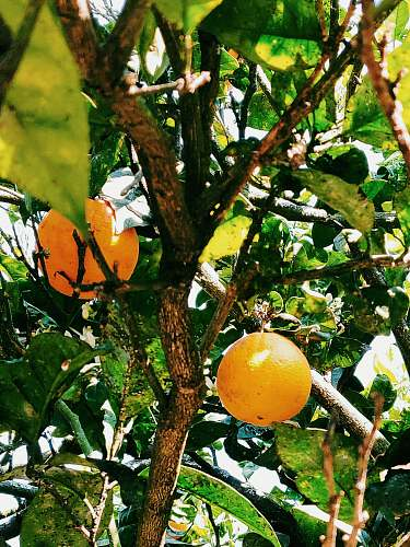 fruit orange fruit tree during daytime citrus fruit