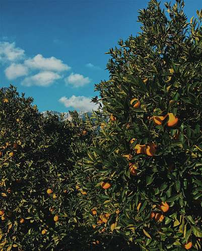 fruit orange fruit tree citrus fruit