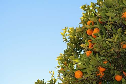 fruit orange fruits in tree orange