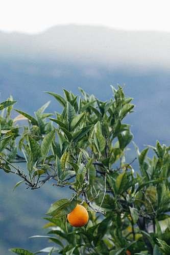 plant orange plant fruit
