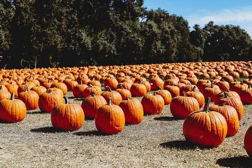 plant orange pumpkin lot on ground pumpkin
