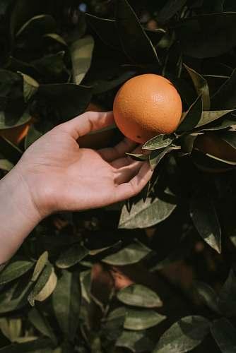 photo fruit person picking orange fruit citrus fruit free for commercial use images
