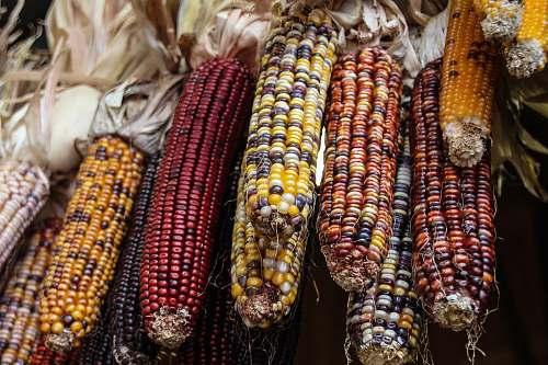 corn photo of peeled corns grain
