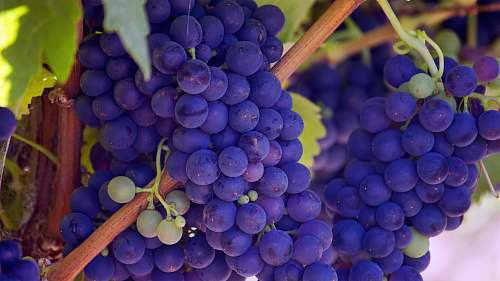 fruit photo of purple grape fruits produce