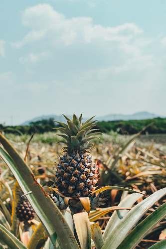 pineapple pineapple farm during daytime fruit