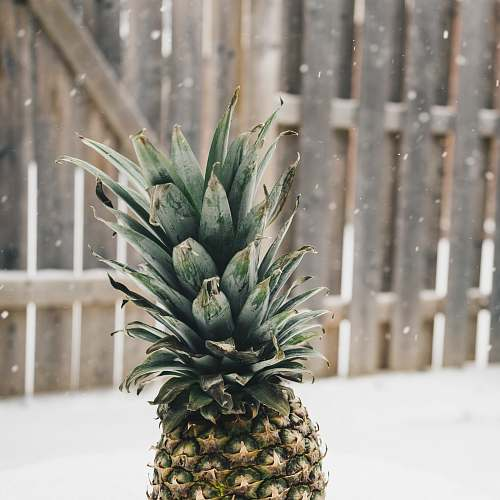 fruit pineapple near at wooden fence during snow pineapple