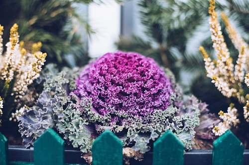 plant purple-petaled flower cabbage