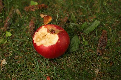 plant red apple fruit on green grass during daytime apple