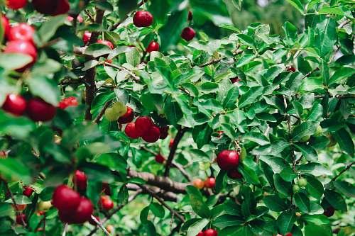 fruit red cherry plant apple