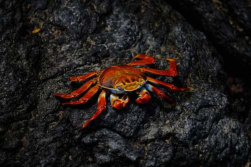 animal red crab on rock lobster