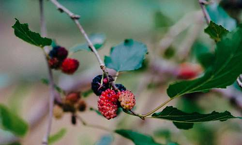 plant red fruit photograph fruit