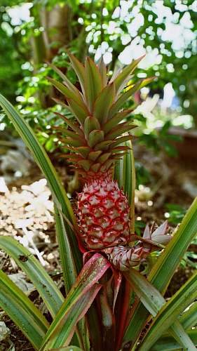 plant red pineapple fruit