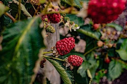 plant red raspberries fruit