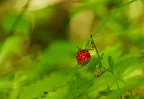 fruit red strawberry fruit plant