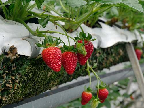 plant red strawberry fruits fruit