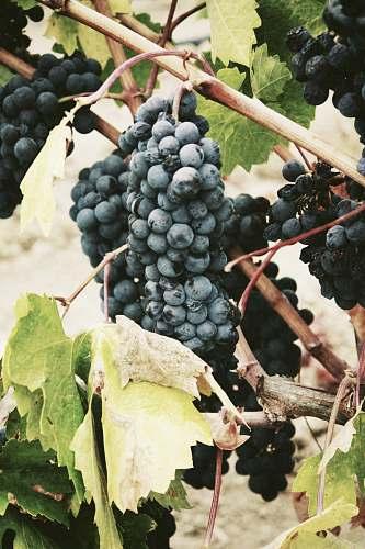 fruit ripe grape grapes
