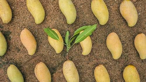 plant ripe mangoes fruit
