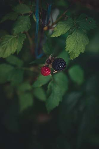 raspberry round black and red raspberry plant