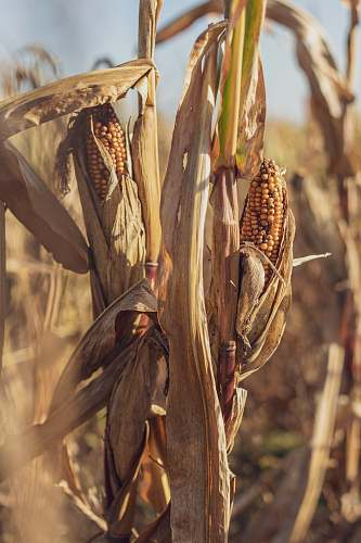 plant selective focus of brown corn field during daytime vegetable