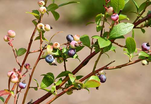 fruit selective focus photo of blueberries blueberry