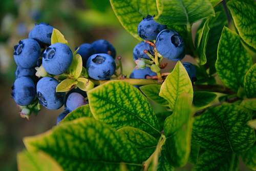 plant selective focus photography of blue berries blueberry