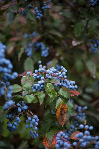 fruit selective focus photography of blue fruits blueberry
