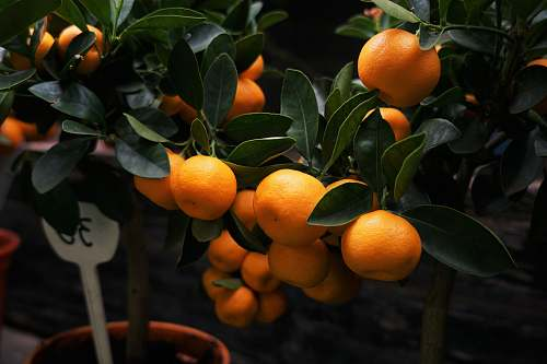 fruit selective focus photography of orange fruits plant