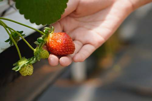 fruit selective focus photography of red strawberry plant