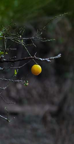 fruit selective focus photography of round yellow fruit hanging from a tree citrus fruit