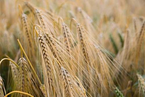 plant shallow focus of rice grains grain