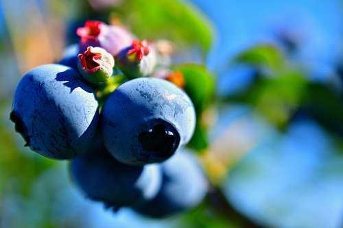 plant shallow focus photo of blueberries blueberry