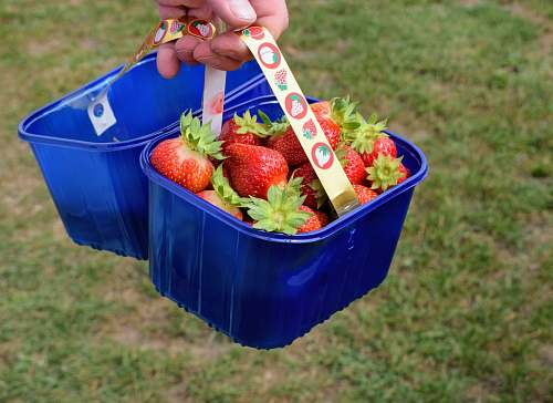 plant strawberries in bucket fruit