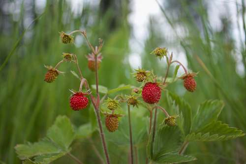 fruit strawberry fruits plant