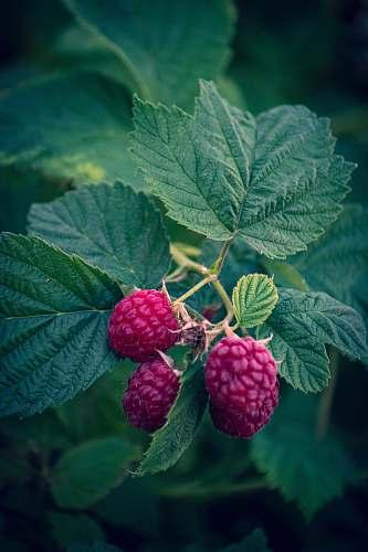 fruit three hot-pink fruits raspberry