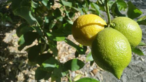 fruit three orange fruits citrus fruit