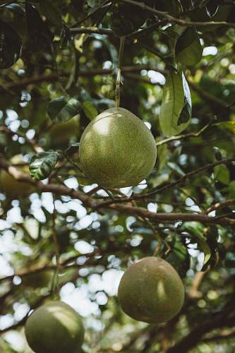 fruit three round green fruit citrus fruit
